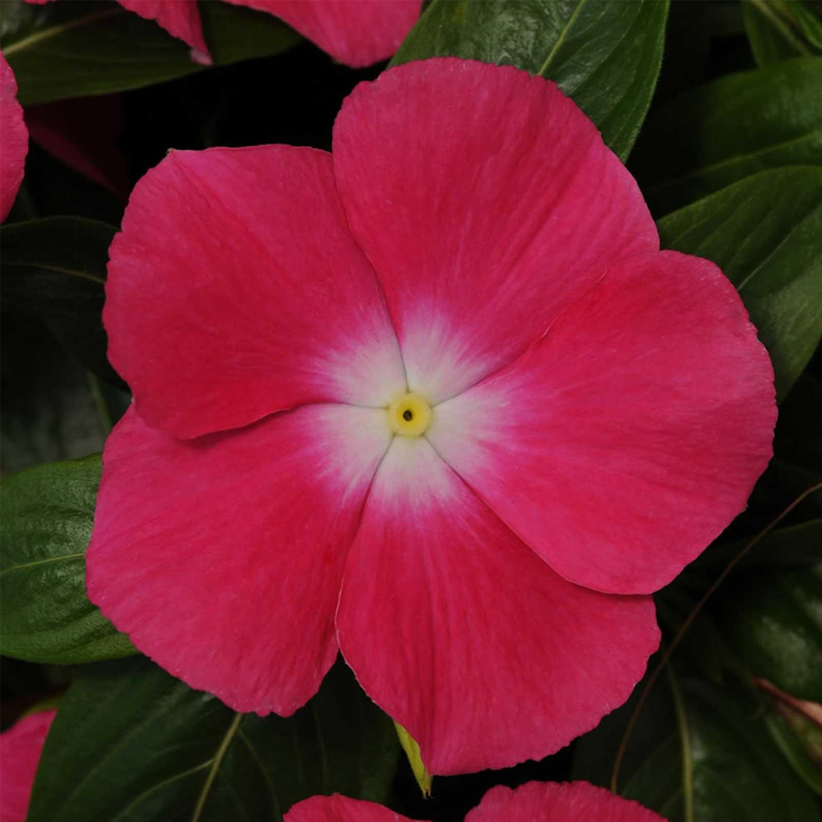 Vinca Flower Garden Seeds - Mediterranean XP Series - Color Mix - 100 Seeds - Annual Flower Gardening Seed