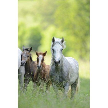 Connemara Pony, Mare with Foal, Belt, Head-On, Running, Looking at Camera Print Wall Art By David & Micha