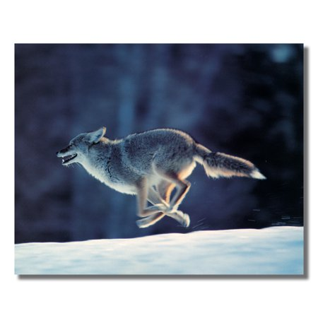 - Gray Wolf Running Across Top of Snow Photo Wall Picture 8x10 Art Print