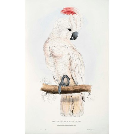 Psittacidae 1832 Salmon Crested Cockatoo Poster Print By  Edward Lear