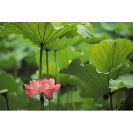 Lotus Single (Hawaii Single Bright Pink Full Lotus Blossom Amongst Green Leaf And Stems PosterPrint)