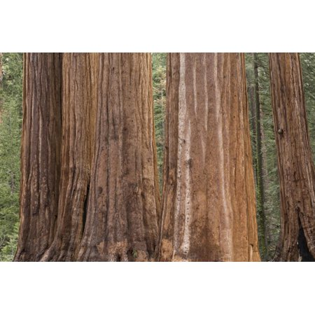 USA, California, Sequoia National Park. Sequoia trees close-up. Print Wall Art By Jaynes Gallery