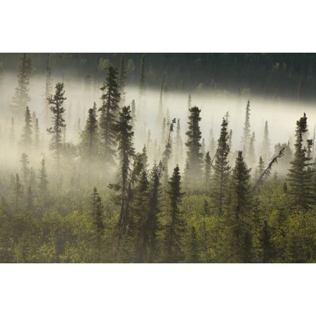 White Spruce Forest In Mist Tombstone Territorial Park Yukon Posterprint