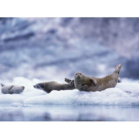 Harbor Seals on Iceberg in Glacier Bay National Park Print Wall Art By Paul (National Harbor Com)