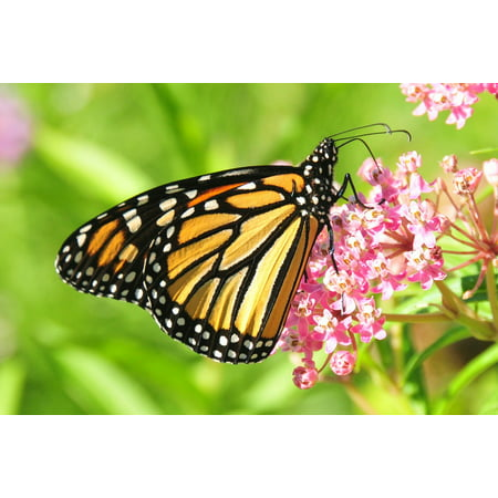 LAMINATED POSTER Flower Monarch Butterfly Bloom Blossom Insect Poster Print 24 x 36