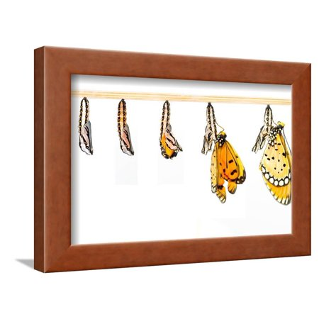 Mature Cocoon Transform to Tawny Coster Butterfly Framed Print Wall Art By mathisa