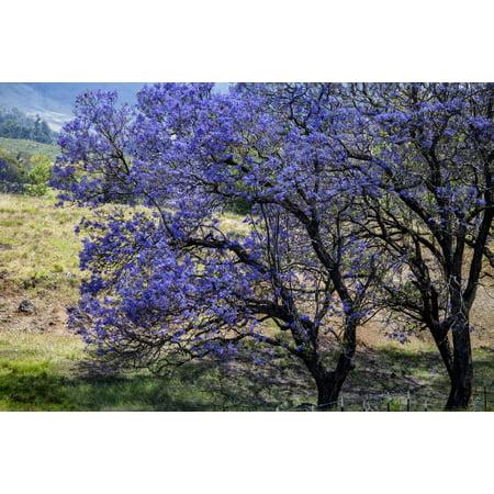 A Jacaranda tree full of purple blossoms Maui Hawaii United States of America Canvas Art - Scott Mead  Design Pics (19 x (Jacaranda Blossoms)