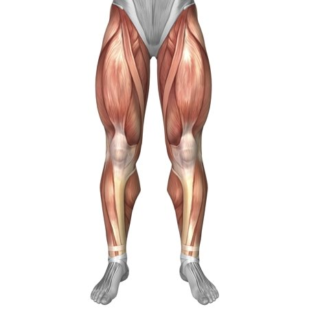 Diagram Illustrating Muscle Groups On Front Of Human Legs Poster Print