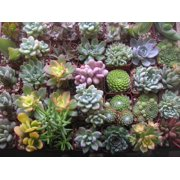 Plant Fully Rooted Succulents Unique Succulent Collection Of 6 2-inch Pots Soil