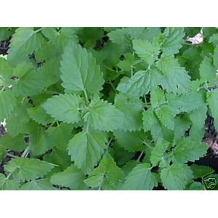 Catnip Great Garden Herb ~ Cats Love It ~ Bulk 5,000 Seeds By Seed (Seed Coat)