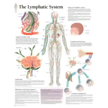 Laminated The Lymphatic System Educational Chart Poster Laminated Poster -