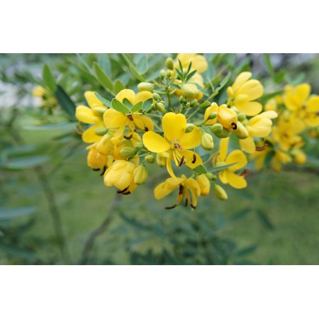 Image of Cassia siamea Kassod - 10 Tropical Tree seeds- Sunny Yellow Blooms-Popcorn Scented Leaves-brighten your day summer-fall- Container Gardening