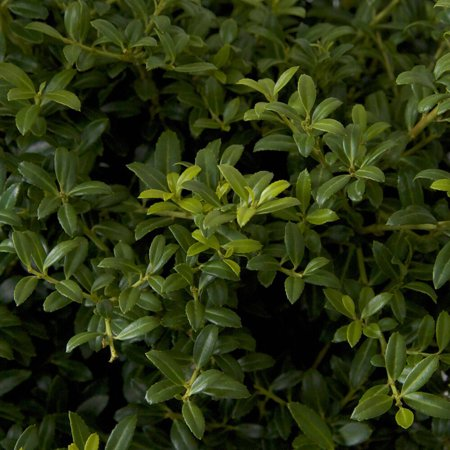 Soft Touch Holly (Ilex crenata), Landscape and Garden (3 Leave Holly)