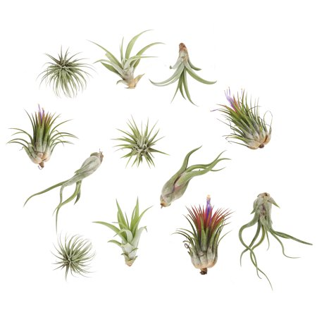 Delray Plants Air Plants (Tillandsia) Easy to Grow Live House Plant, Assorted Mix,