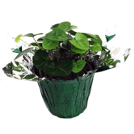 (Sweetheart English Ivy - Hedera - 4