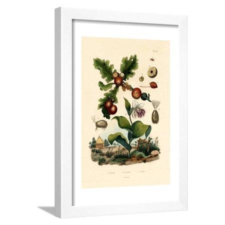 Gall Wasp, 1833-39 Framed Print Wall Art Wasp Print Server