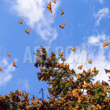 Monarch Butterflies on Tree Branch in Blue Sky Background in Michoacan, Mexico Print Wall Art By JHVEPhoto - Blue Monarch