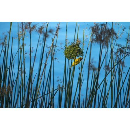 Masked Weaver Hanging From Nest On The Banks Of The Shire River Liwonde National Park Malawi Posterprint