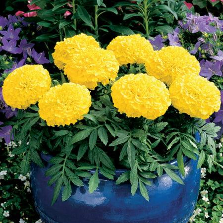 African marigold flower garden seeds antigua series f1 yellow african marigold flower garden seeds antigua series f1 yellow 100 seeds annual mightylinksfo