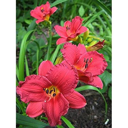 Daylily Ed (Cranbarry Baby Daylilies, 25 Bareroots, 1-2)