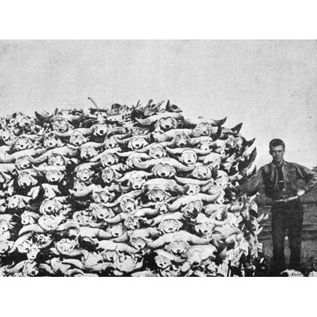 Buffalo Skulls 1892 Nbuffalo Skulls Gathered On The Plains For Use As Animal Charcoal In The Purification Of Sugar Photograph From An English Newspaper Of 1892 Rolled Canvas Art -  (24 x 36) (Plain Skulls To Decorate)