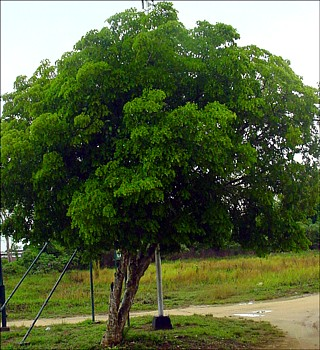 Lignum Vitae Tree Of Life Guaicum Sanctum 4 Pot Walmart Com Walmart Com