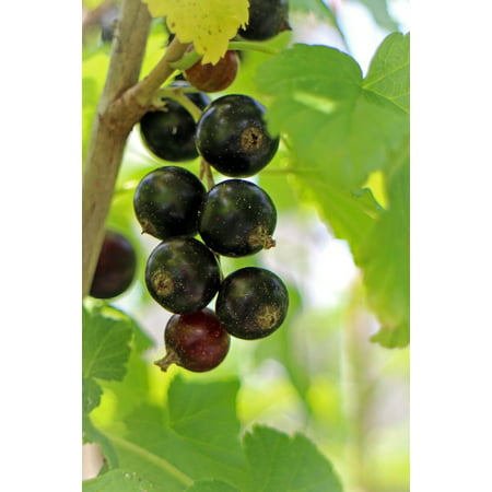 Canvas Print Berry Food Ribes Nigrum Fruit Black Currant Fruits Stretched Canvas 10 x 14 - Halloween Ribs Food