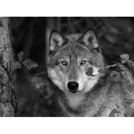 Grey Wolf Portrait, USA Print Wall Art By Lynn M. Stone ()