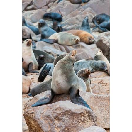 Cape Fur seals Cape Cross Skeleton Coast Kaokoland Namibia Poster Print by Nico Tondini