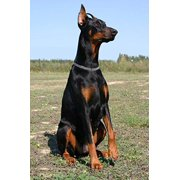 Sitting Doberman Dog Journal: 150 Page Lined Notebook/Diary (Paperback)