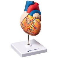 Vision Scientific Life Size Heart Model - 2 Parts