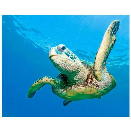 Hawaiian Sea Turtle, Maui, Hawaii, Us. by Eazl Premium Gallery Wrap ()