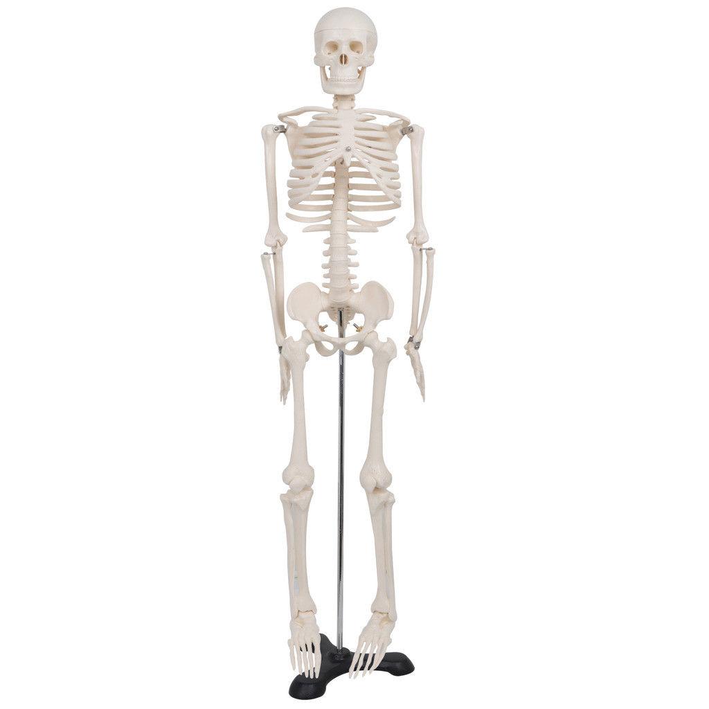 Zeny 85CM Human Anatomical Anatomy Skeleton Medical Model...