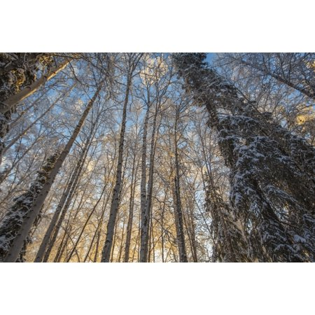 Sunrise illuminated the birch and spruce trees in the forest near Fairbanks on a winters morning in subzero temperatures Alaska United States of America Canvas Art - Zachary Sheldon  Design Pics (19