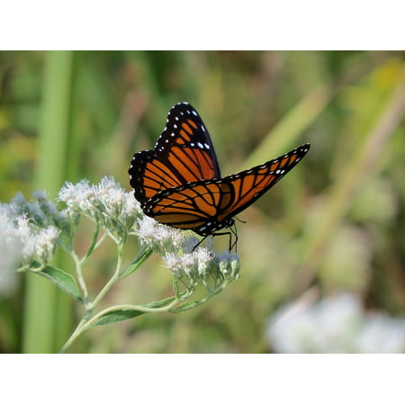 LAMINATED POSTER Monarch Nature Butterfly Colorful Wildlife Insect Poster Print 24 x 36