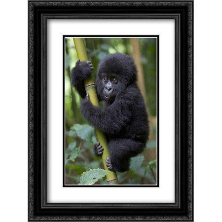 Mountain Gorilla infant playfully climbing bamboo pole, Parc National Des Volcans, Rwanda 2x Matted 18x24 Black Ornate Framed Art Print by Eszterhas, Suzi