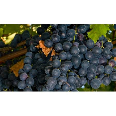 Summer Vine - Summer Royal Seedless Black Grape Vine Plant - Jams & Jellies - 2.5