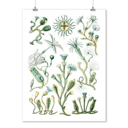 Art Forms of Nature - Campanariae (Aquatic Animals) - Ernst Haeckel Artwork (9x12 Art Print, Wall Decor Travel - Aquatic Form