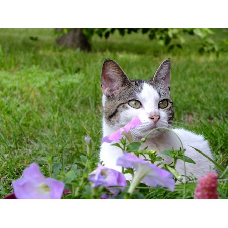 Peel-n-Stick Poster of Purple White Cat Lilac Kitty Garden Kitten Blaze Poster 24x16 Adhesive Sticker Poster Print