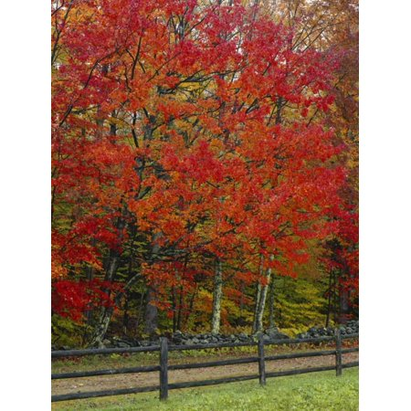 Sugar Maple in Autumn, Twin Ponds Farm, West River Valley, Vermont, USA Print Wall Art By Scott T. Smith (Maples Farm Halloween)