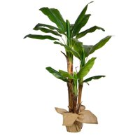 "60""H Banana Tree Artificial Indoor/ Outdoor Faux D?cor with Burlap Kit By Minx NY"