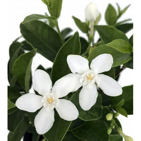 Asian Snow Jasmine Tree Wrightia Antidysenterica 6 Pot
