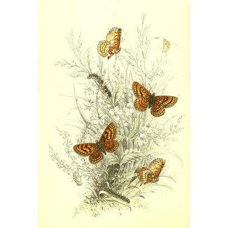 Genera & Species of B Butterflies 1860 Fritillaries 1 Canvas Art - Henry N Humphreys (24 x (Species Of Butterfly)