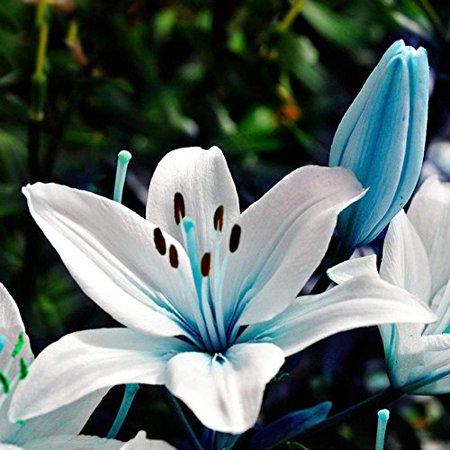 50pcs Blue Rare Lily Bulbs Seeds Planting Flower Lilium Perfume Garden Decor - Lily Flower Bulbs