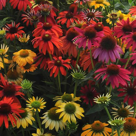Cheyenne spirit echinacea flower garden seeds purple coneflower cheyenne spirit echinacea flower garden seeds purple coneflower 100 seeds perennial flower mightylinksfo