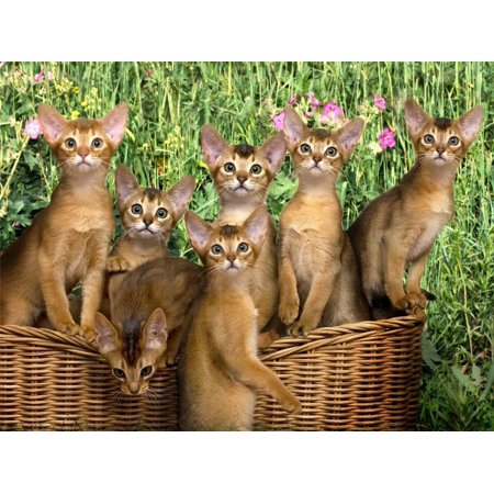 Abyssinian Kittens (Laminated Poster Abyssinian Kittens Cats Kitty Shorthair Cute Poster Print 24 x 36)