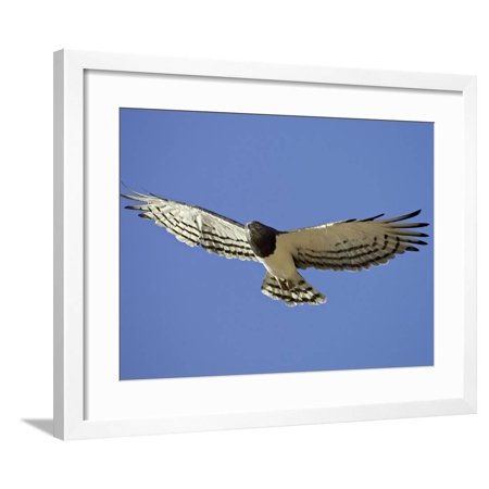 Black-Breasted Snake Eagle, Kgalagadi Transfrontier Park, South Africa Framed Print Wall Art By James Hager