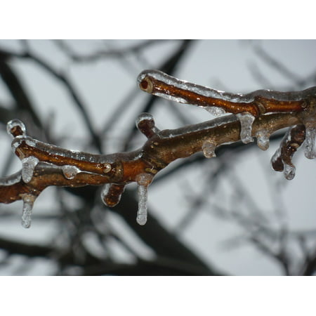 LAMINATED POSTER Winter Branch Ice Freezing Frozen Twig Poster Print 24 x -
