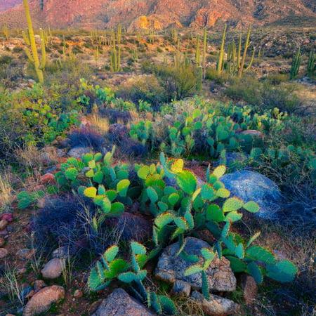Prickly Pear and Saguaro Cacti, Santa Catalina Mountains, Oro Valley, Arizona, USA Print Wall Art By Green Light Collection ()