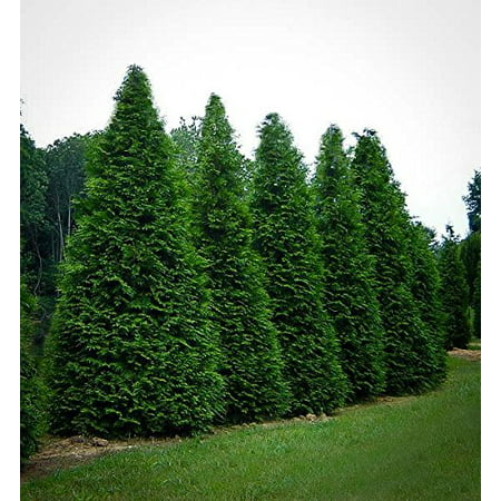Green Giant Arborvitae, 4 Plants in 4 Separate 2.5 inch Containers 6-14 inches